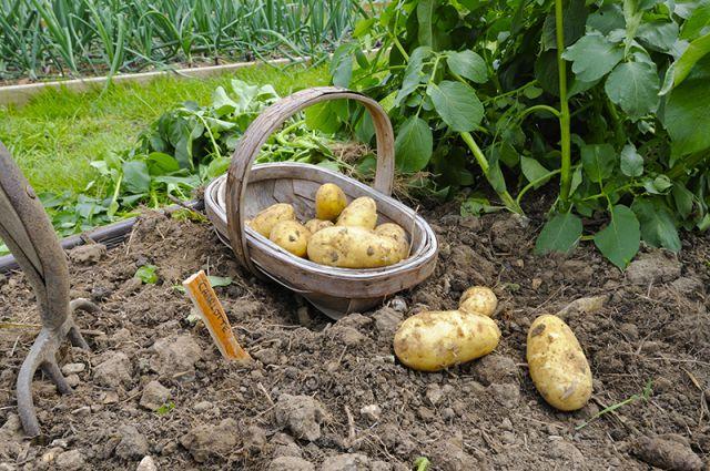 Огород когда сажать картофель 196