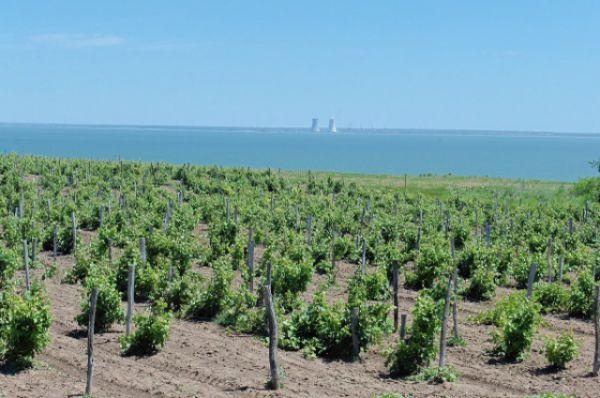 Площадь, отведённая под выращивание винограда, занимает в Ростовской области почти 5 тысяч гектаров.