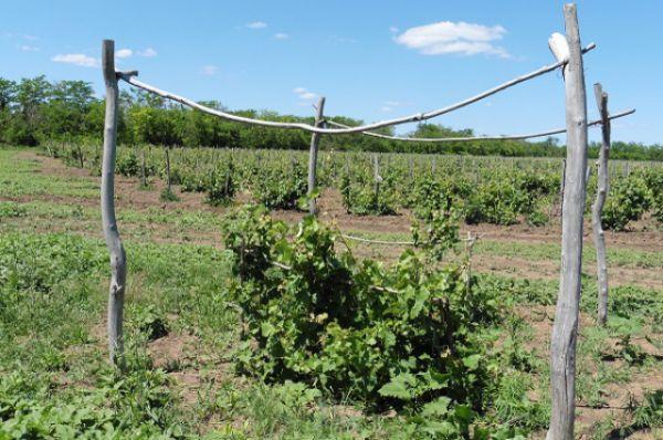 Виноделие Дона имеет давнюю историю и славные традиции.