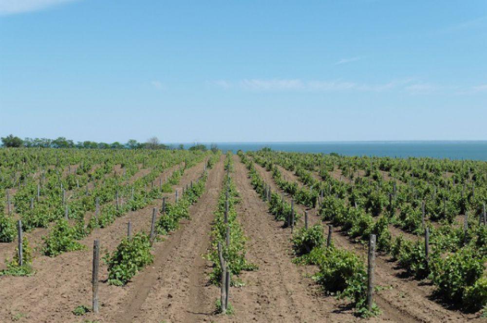 На Дону есть свои аборигенные сорта винограда.
