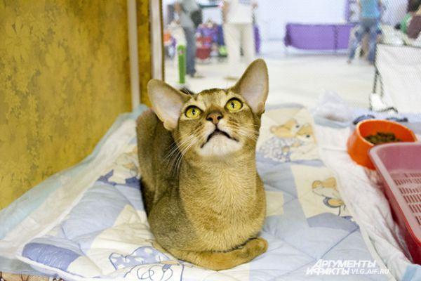 Арчибальд, Офелия и Комильфо. Как выглядит «кошачья знать»