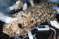 Найденному леопарду делают операцию.