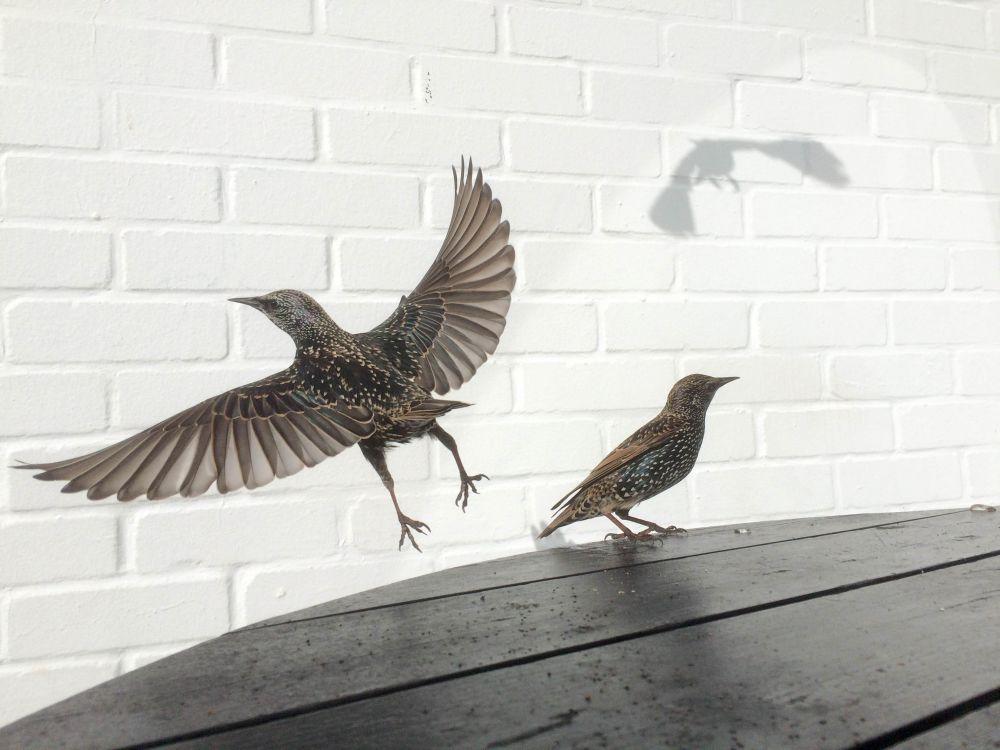 2-е место в номинации «Фотограф года» — Дэвид Крайк (Великобритания). На фото пара скворцов на столике кафе, прилетевших ради хлебных крошек. «Как только одна из птиц села на стол, я заметил большую яркую тень на белой стене, — рассказывает автор снимка, — и сразу понял, что получится превосходная фотография». Дэвид считает, что «единственное ограничение фотографа — его собственное воображение».