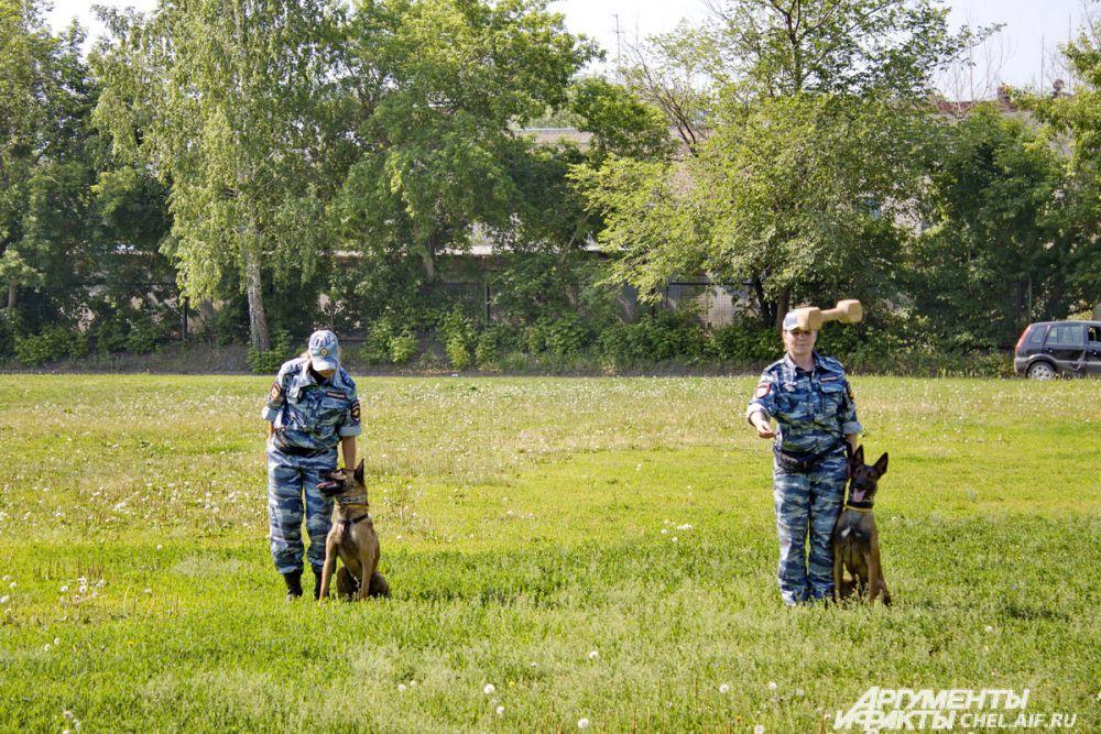 Эти бельгийские овчарки ещё почти щенки, но уже умеют выполнять все команды.