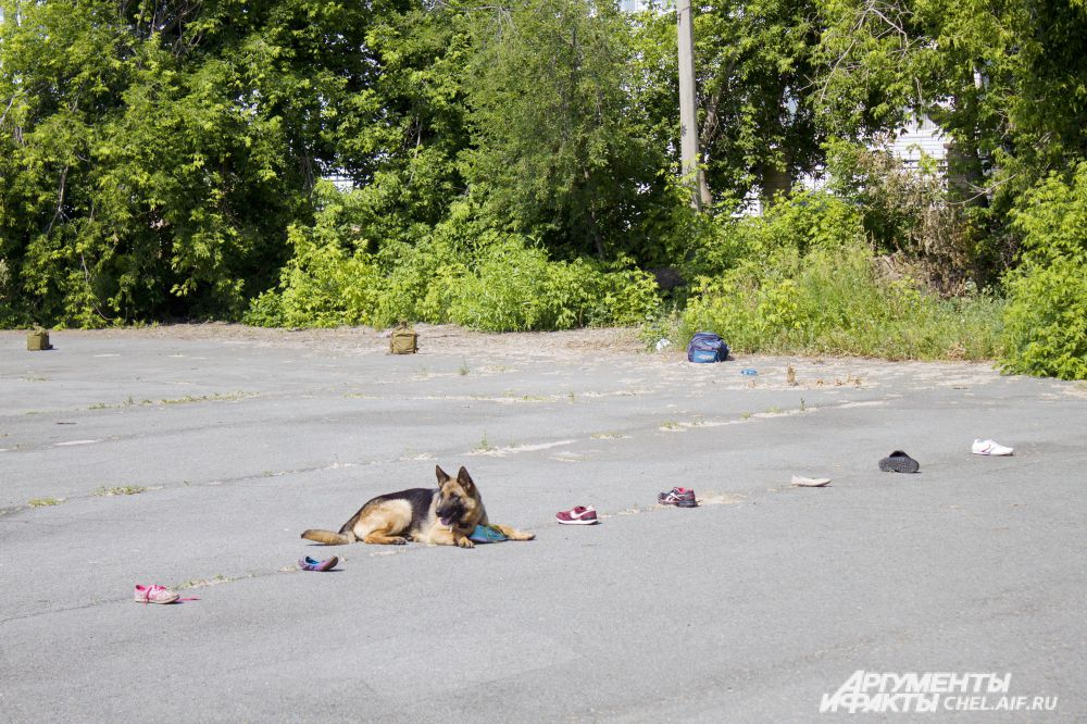 одно из испытаний: собака должна по запаху статиста найти его обувь.