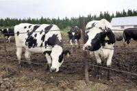 Закупить и вырастить скот - это огромный и дорогостоящий труд.