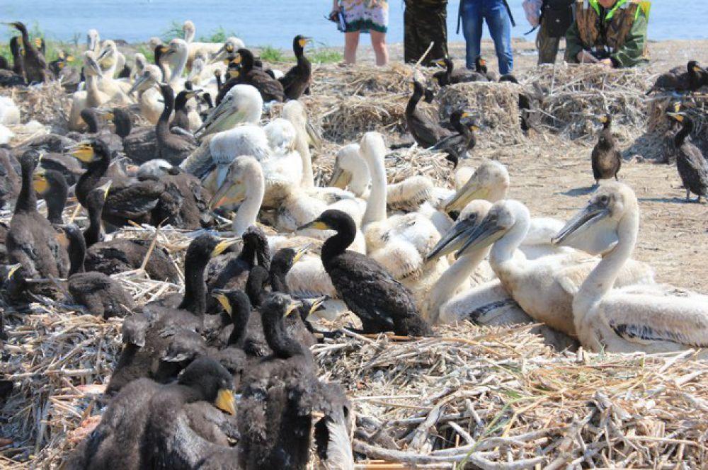 Птенцы пеликанов и бакланов.