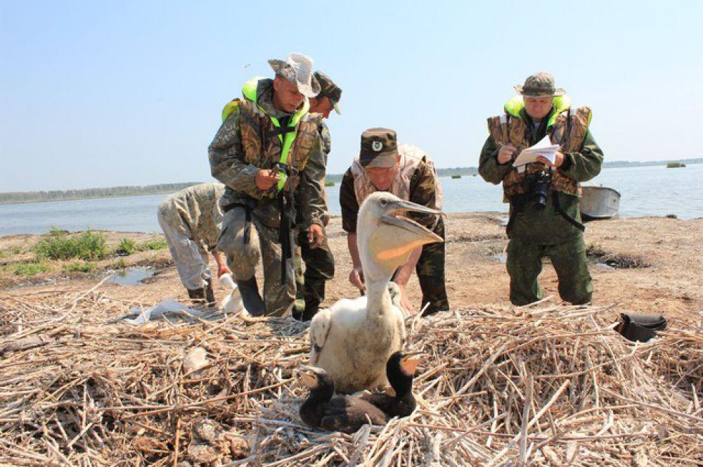 Уже в конце сентября-в начале октября пеликаны покидают Крутинские озера, направляясь на зимовку в теплые страны – Западную Турцию, Восточную Аравию, Пакистан, Центральную Индию, Северный Афганистан, Иран.