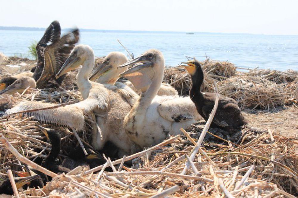 Пеликанов привлекает обилие рыбы в данных водоемах, тем более, что такой крупной птице необходимо от полутора до двух килограммов рыбы в день.