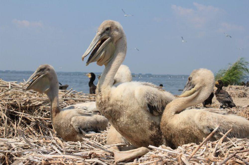 В началеXX в. кудрявый пеликан в Омской области был отмечен как случайная залетная птица, с 1979 года пеликан регулярно прилетал на озера Салтаим и Теннис Крутинского района, а с 1984 года птица стала гнездиться.