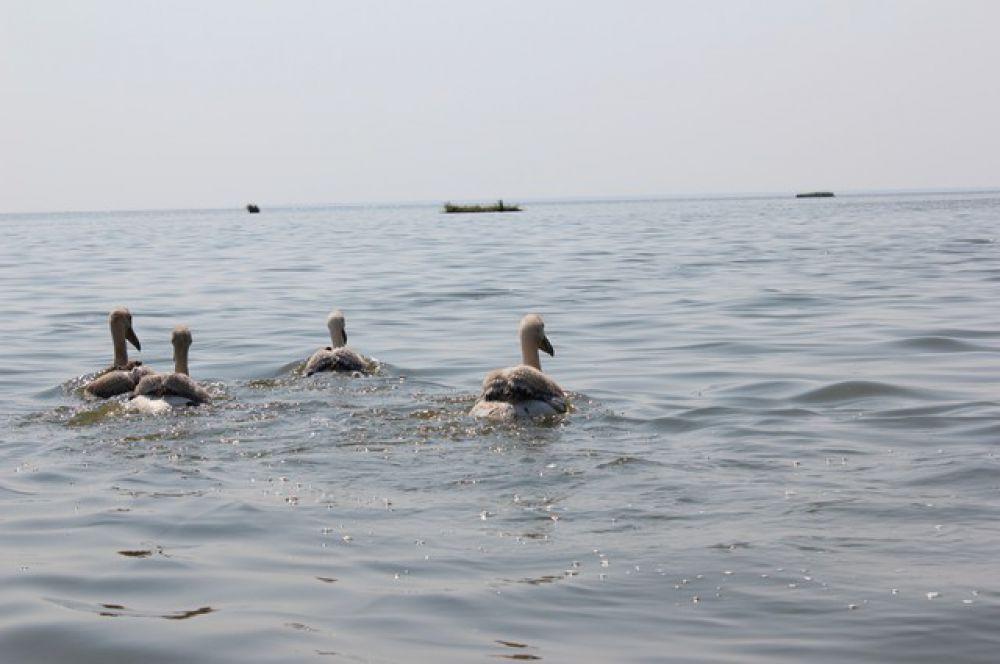 ... птенцы прекрасно плавают почти с рождения.