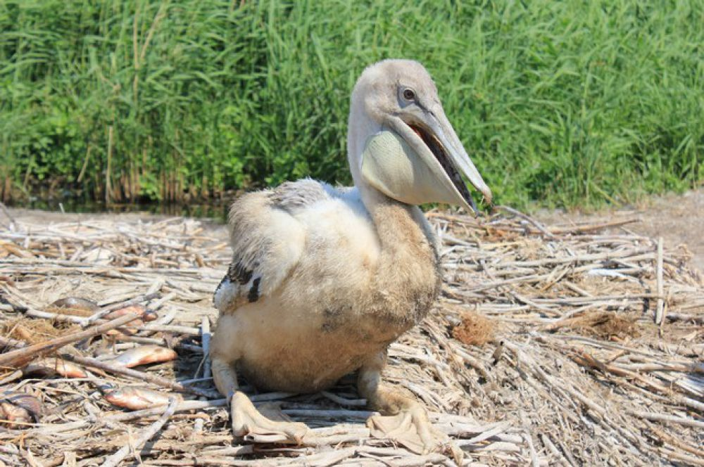 Появление этих птиц на Крутинских озерах Салтаим-Тенис – самой северной точке обитания пеликанов, может быть связано с интенсивным развитием в нашем регионе рыболовного промысла.