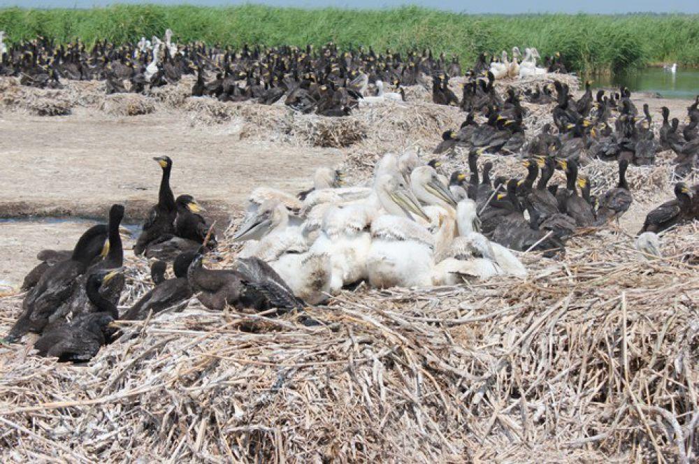 В Омской области колония кудрявого пеликана, занесенного в Международную Красную книгу гнездится на архипелаге из небольших островов озера Тенис.