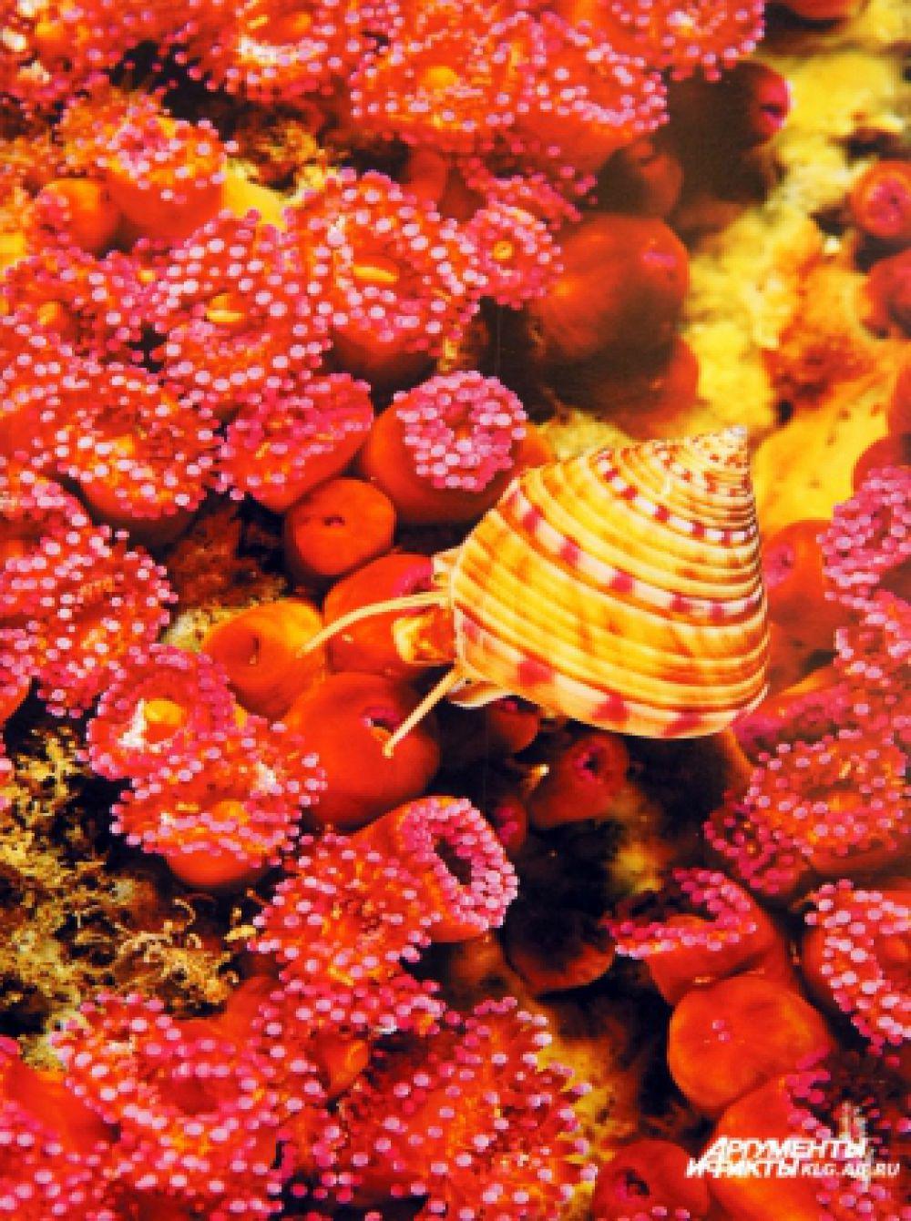 Розовые щупальца прячутся, как только моллюск сметает съестное с подвижных участков зеленой актинии. Снимок сделан Скерри в Ирландии в 2003 году.