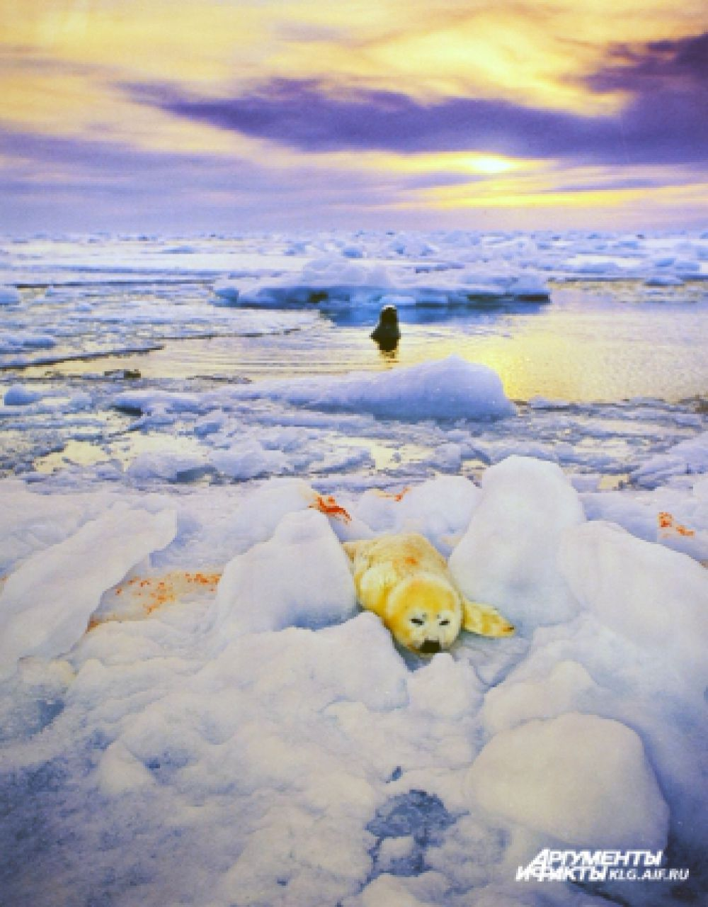 Гренландская тюлениха-мать бдительно следит за своим родившимся час назад детенышем, лежащем на запачканном последом льду. Этот снимок Скерри сделал в Канаде в 2002 году.
