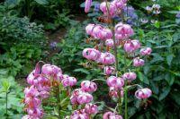 Лилия кудреватая (Lilium martagon). Фото: