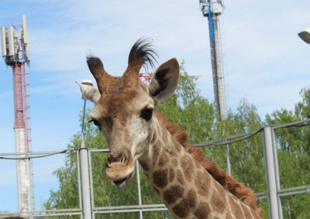 Поэтому она даже показывает фотографу знаменитый черный язык жирафов
