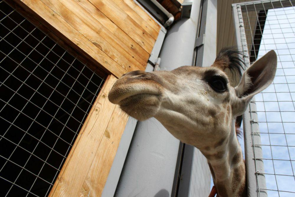 Не зря древние называли жирафов камелопардами. Сходство с верблюдом налицо