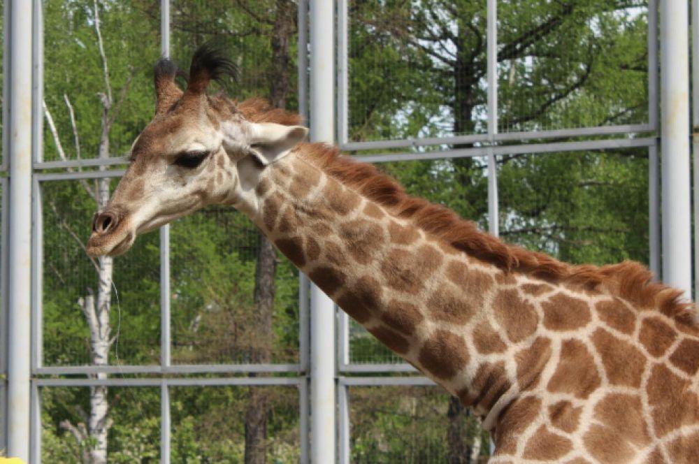 А еще жирафы умеют мило шевелить ушами