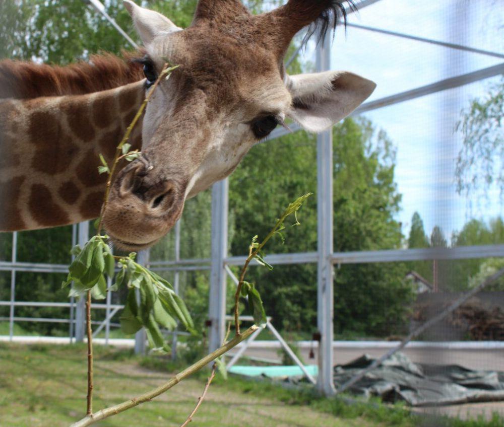 Как и взрослые жирафы она будет есть на новом месте жительства только зелень