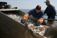 Треть улова приходится на долю приморских рыбаков.