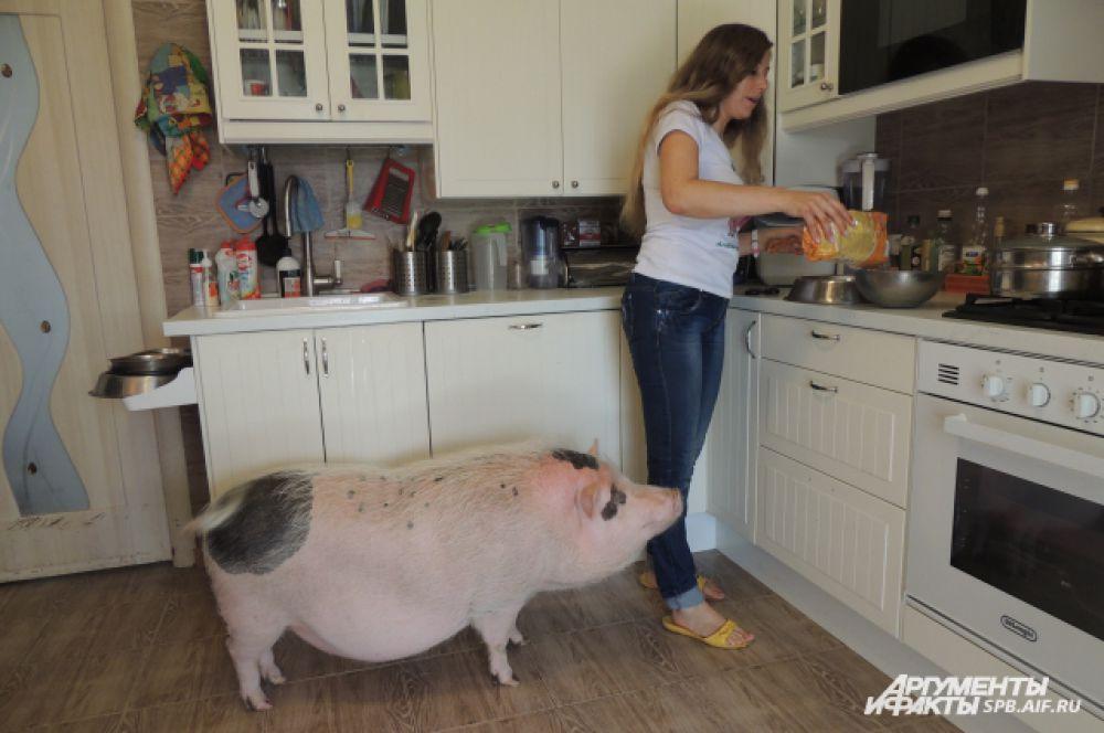 Свинок нужно кормить два раза в день отрубями, кашей и свежими овощами и фруктами.