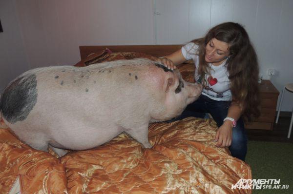 Мини-пиги свободно гуляют по всему дому и даже валяются на кровати хозяев.