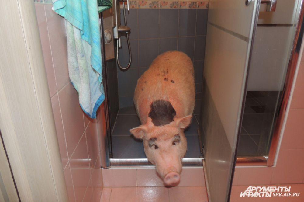 Мини-пигов необходимо мыть раз в неделю, постригать им копыта, выгуливать.