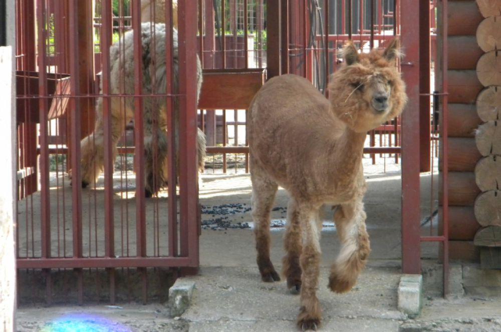 Подстриженный под пуделя альпака также не прочь принять освежающий душ. Кстати, новая причёска - не дань моде, а способ помочь животному пережить жаркие деньки