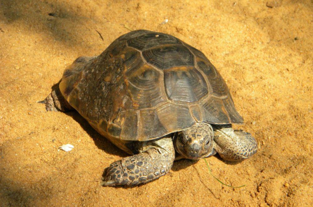 Для степной черепахи Тортиллы такая погода только в радость