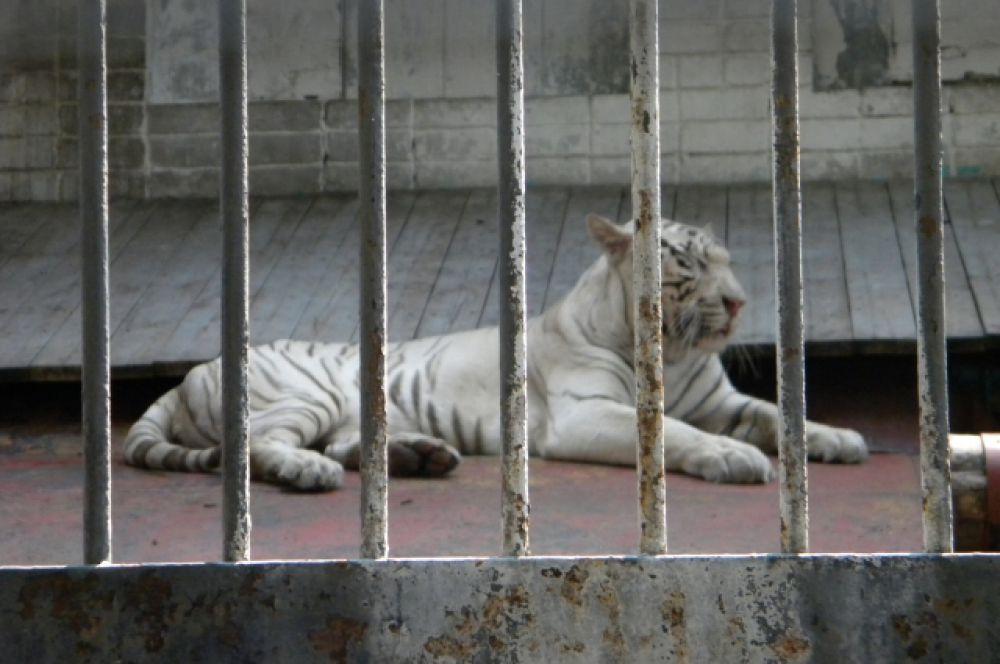 В жару бенгальская тигрица Бритни абсолютно равнодушна к еде