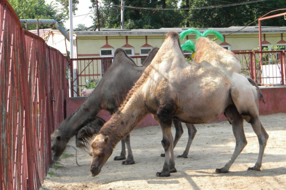 А вот верблюды любят такую погоду