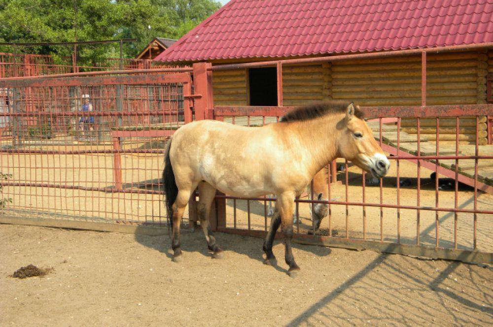 Для жителя монгольских степей – лошади Пржевальского, жара - привычное дело