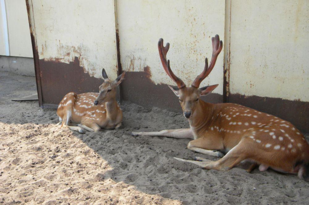 Пятнистые олени отдыхают в тени, пока сотрудники зоопарка строят для них новый домик