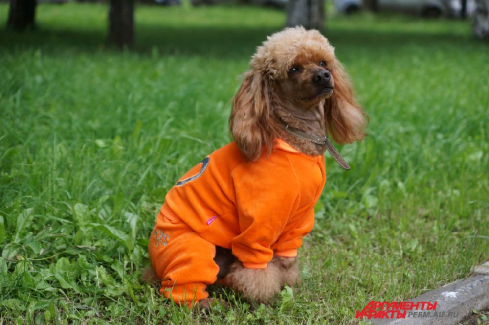 «Спортивные костюмы пользуются большой популярностью у собаководов. Яркий, заметный оранжевый цвет очень хорошо подходит к веселому темпераменту пуделька»