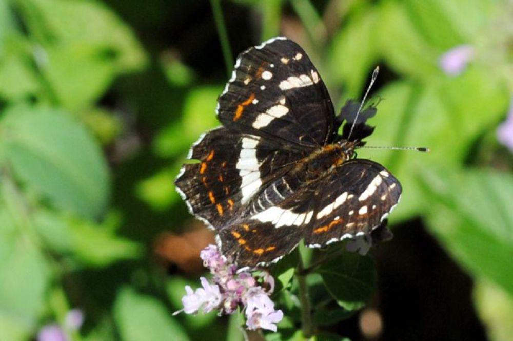 Тоже красивая бабочка.