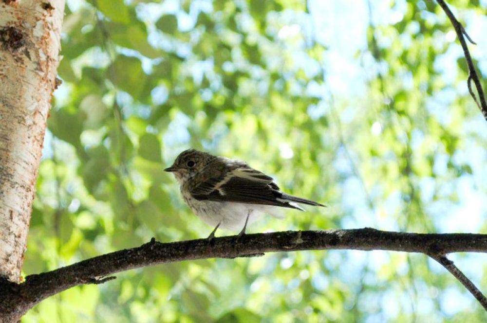 Какая-то очень непугливая птичка. Лишь когда я подобрался вплотную к ней, соизволила перелететь с земли на березу.