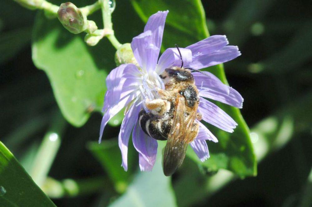 Пчелка на цветке цикория.