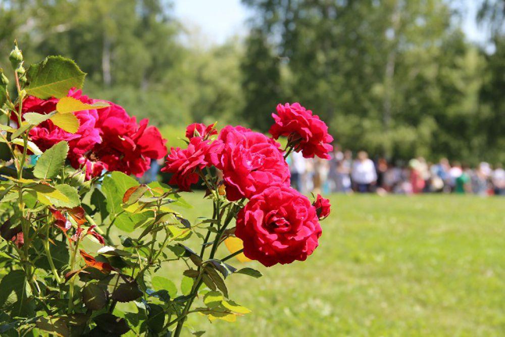 Возможно, именно такими розами любовался Лермонтов