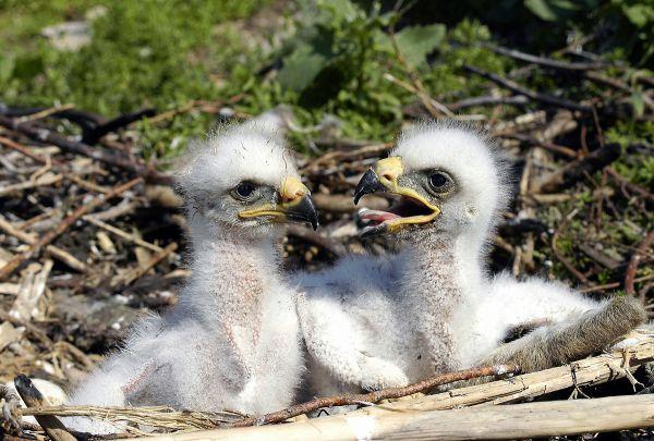 Птенцы степного орла в возрасте 10 дней
