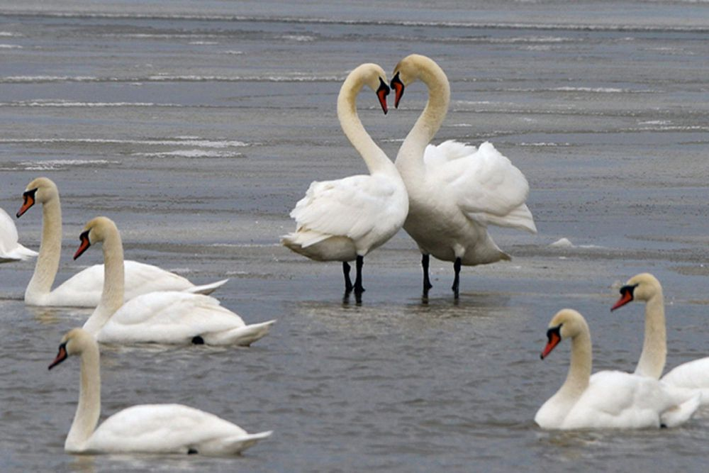 Лебедь - шипун