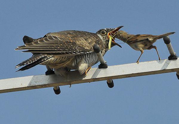 Кукушонок и мухоловка