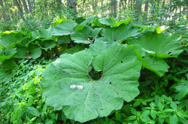 Под листом этого растения можно укрыться от солнца.