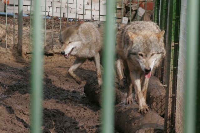 Пока автозаводские волки живут у ветеринаров и, кажется, чувствуют себя лучше, чем под надзором хозяина.