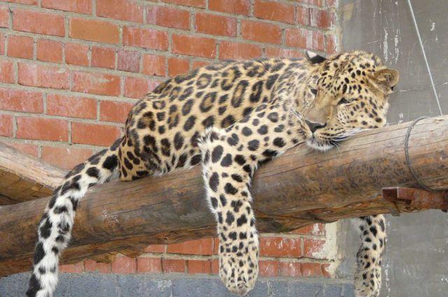 Леопард Лиза.