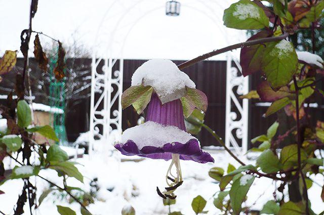 Кобея в снегу.
