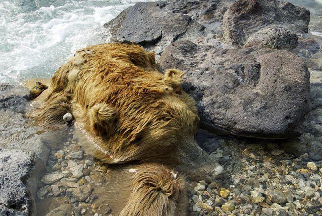 Медведь, погибший в Долине смерти