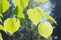 Листья липы.