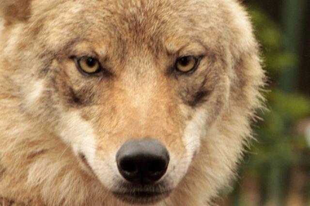В екатеринбургском зоопарке появилась серая волчица Луна