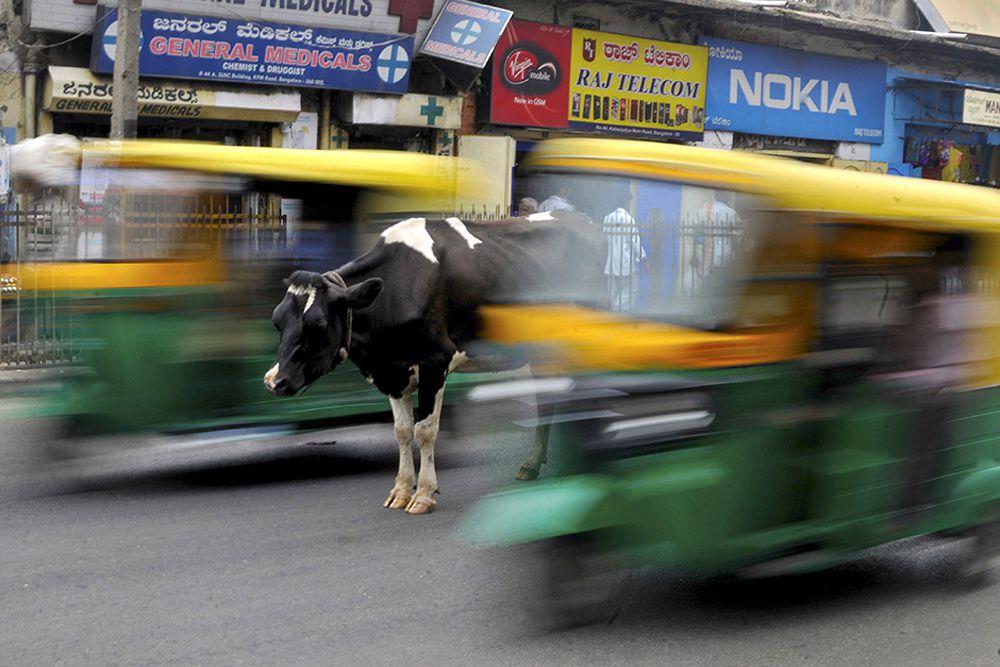 Корова на одной из дорог индийского города Бангалор, 2 июня.